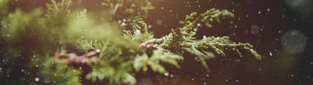 Curiosidades plantas de Navidad